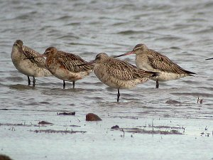 Lappspove, Bar-tailed Godwit (Oven, Råde)
